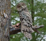 GREAT GREY OWL WITH FROG